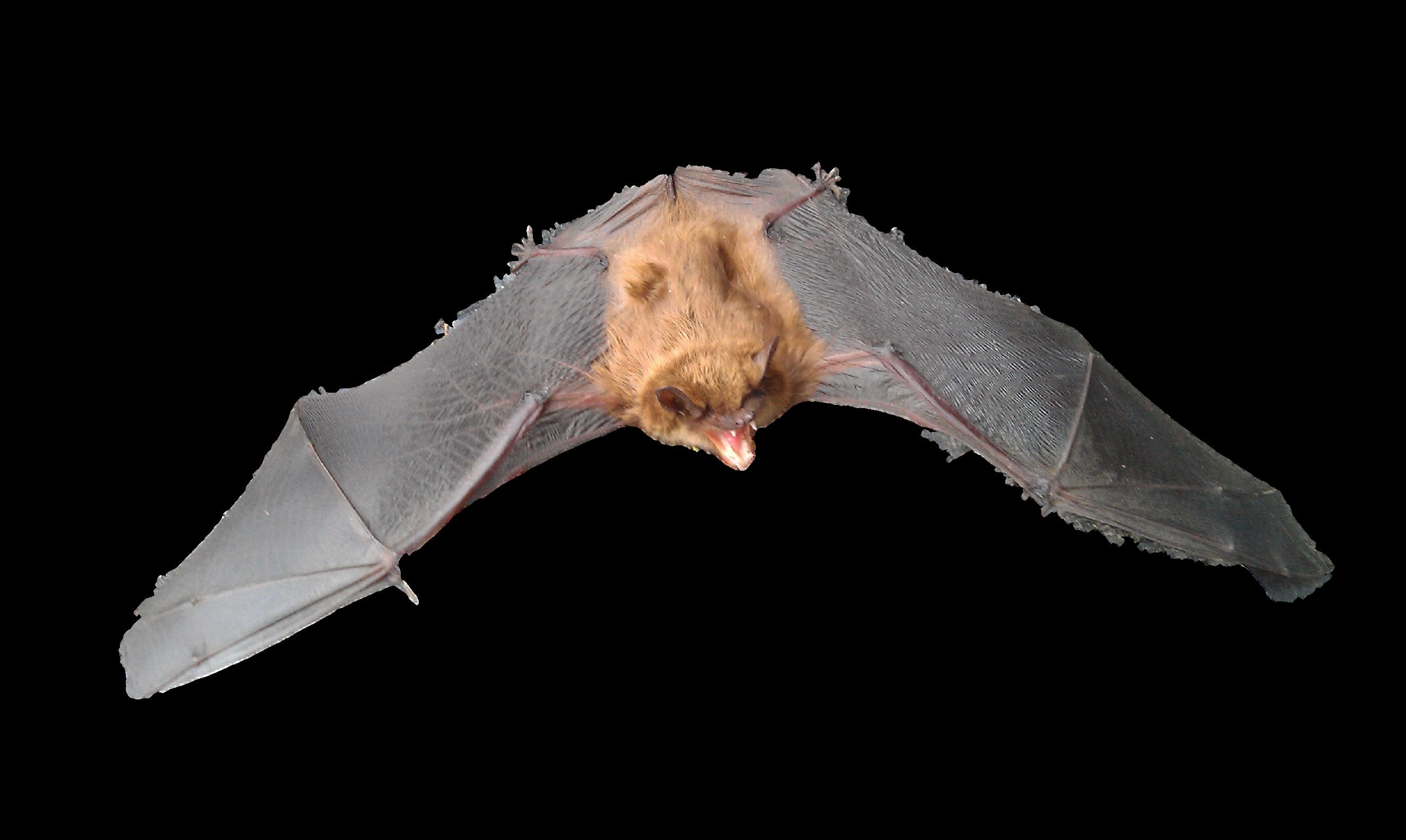 Bat Removal Company Rochester Michigan