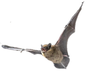 Bat Exclusion Services in Oakland County