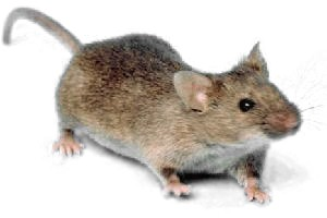 Mice Removal Oakland County MI