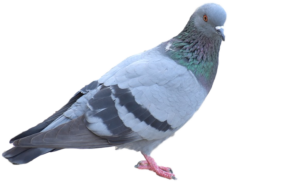 Oakland County MI bird removal