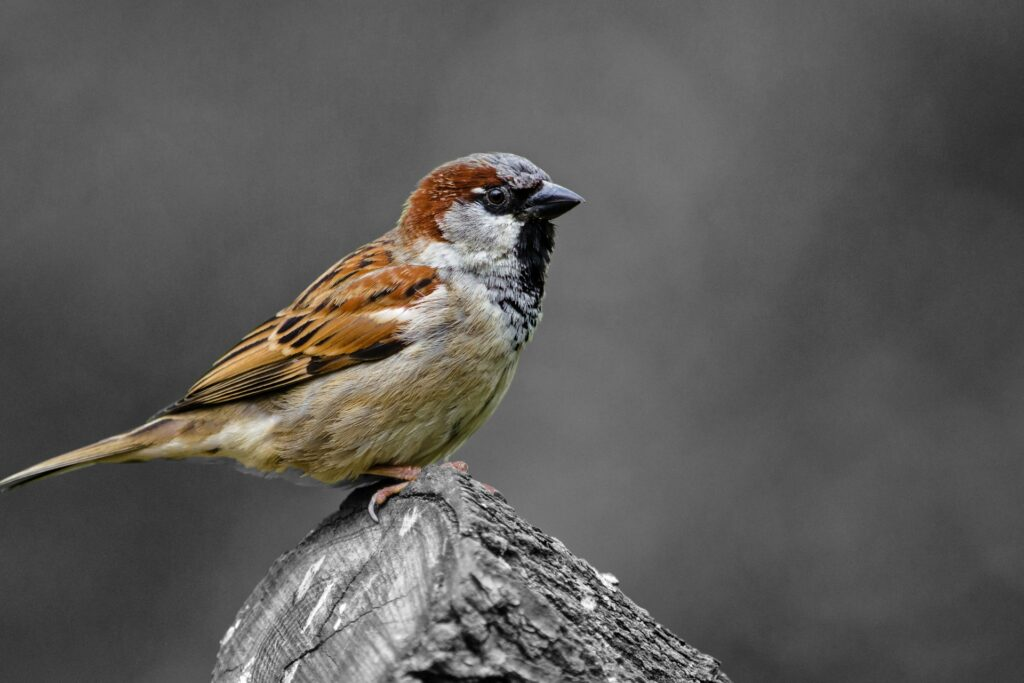 Sparrow Control in Michigan