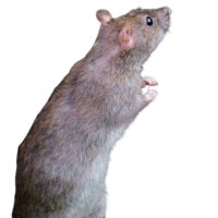 Rat Removal Michigan