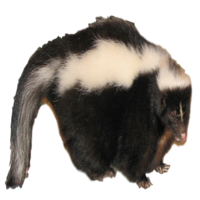Skunk Removal Company in Oakland County MI
